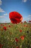 Poppy in a field of red poppies Stock Photography
