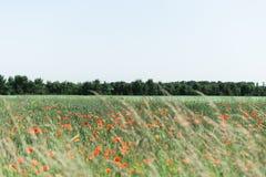 Poppy Field rossa Immagine Stock Libera da Diritti