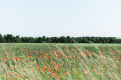 Poppy Field rouge Image libre de droits