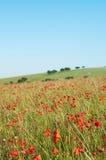 Poppy Field sauvage dans l'été Photographie stock