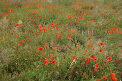 Poppy field. Sea of red poppies in a field Stock Photos