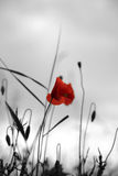 Poppy in a field. With selective colour Royalty Free Stock Photography