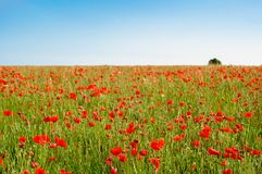 Poppy Field selvaggia con l'albero in distanza e cielo blu Immagini Stock Libere da Diritti