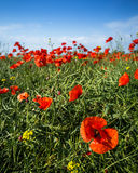 Poppy field. The shot of poppy field with large flower in the front Royalty Free Stock Image