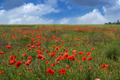 Poppy field. And sky with clouds Stock Image