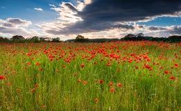 Poppy Field sob a nuvem Foto de Stock