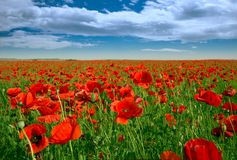 Poppy field in spring. Red poppy flowers and green grass under the blue sky stock image