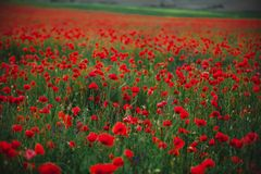 Poppy field in spring. panoramas of flowering spring poppies among the wheat field in the background royalty free stock image