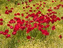 Poppy field Stock Photos