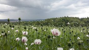 Poppy field before the storm Royalty Free Stock Photo