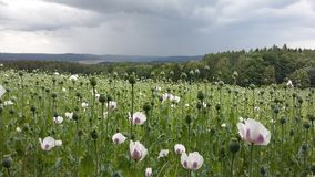 Poppy field before the storm Royalty Free Stock Images