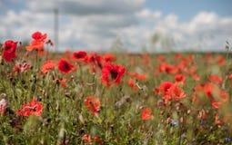 Poppy Field with Stormy Stock Photo