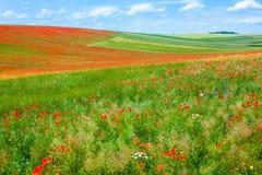 Poppy field. Royalty Free Stock Photos
