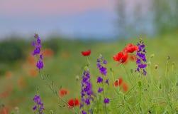 Poppy field in summer Stock Photo