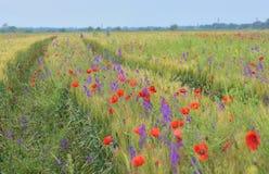 Poppy field in summer Stock Photos