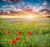 Poppy field, summer countryside landscape at sunset Stock Photos