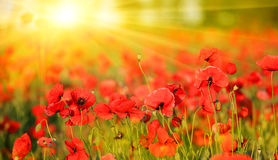 Poppy field in summer day Royalty Free Stock Photos