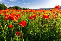 Poppy field in summer evening. Beautiful nature scenery with vivid flowers in sunset light royalty free stock image