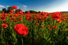 Poppy field in summer evening. Beautiful nature scenery with vivid flowers in sunset light stock photo