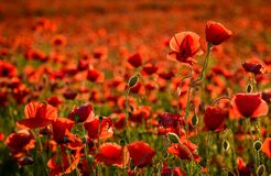 Poppy field in summer evening. Beautiful nature scenery with vivid flowers in sunset light Stock Images