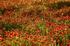 Poppy field in summer evening. Beautiful nature scenery with vivid flowers in sunset light Royalty Free Stock Photo