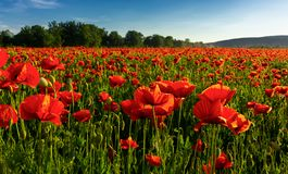 Poppy field in summer evening. Beautiful nature scenery with vivid flowers in sunset light royalty free stock photos