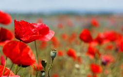 Poppy field during summer Royalty Free Stock Images