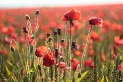 Poppy field in summer. Poppys in a field in dorset uk in the height of summer Stock Image