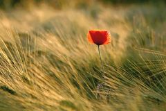 poppy on a field at summer sunset Royalty Free Stock Images