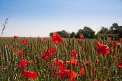 Poppy field on a summers day. royalty free stock photos