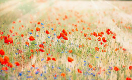 Poppy field with sun rays , outdoor nature background Royalty Free Stock Photos