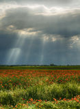 Poppy field. Sun rays,storm approaching Royalty Free Stock Photography