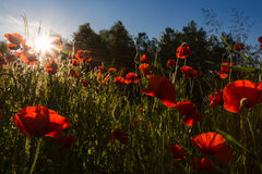 Poppy field at sundown in austria Royalty Free Stock Photography