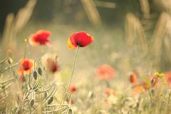 Poppy in the field on a sunnny spring morning. Close-up of fresh spring poppies on a field backlit by the light of the morning sun on a spring day. Poland royalty free stock photo