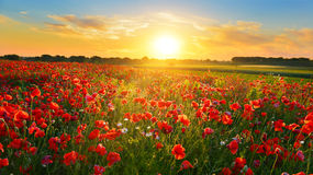 Poppy field. At sunrise in summer countryside Royalty Free Stock Photos