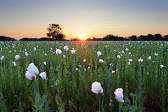 Poppy field at sunset Stock Photo