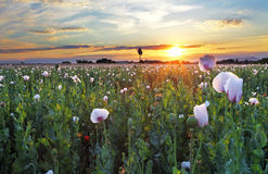 Poppy field at sunset Stock Image
