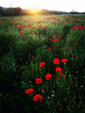 Poppy field by sunset Royalty Free Stock Images