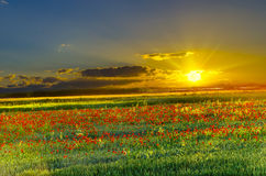 Poppy field at sunset Royalty Free Stock Photography