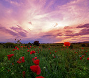 Poppy field at sunset stock images