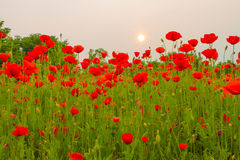 Poppy field in sunset Royalty Free Stock Photography