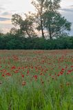 Poppy field in sunset royalty free stock images
