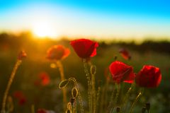 Poppy field at sunset Royalty Free Stock Image