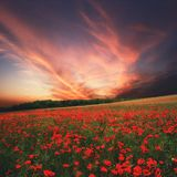 Poppy field at sunset time, Hungary Stock Photo