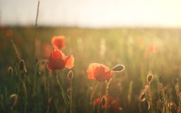 Poppy field at sunset time Stock Photos