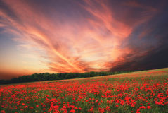 Poppy field at sunset time, Hungary Royalty Free Stock Image