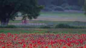 Poppy field with tractor stock footage