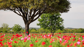 Poppy Field and Tree During Spring in Texas Royalty Free Stock Images