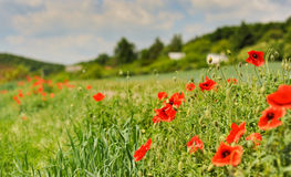 Poppy field with trees, houses and blue sky, Czech countryside. Stock Photography