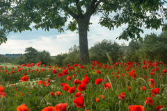 Poppy field in Tuscany Royalty Free Stock Images